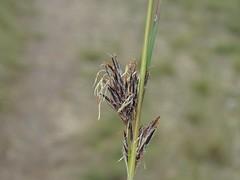 Schoenus villosus 4 (barryaceae) Tags: kallaroo road jervis bay national park nsw australia ahp heath plant