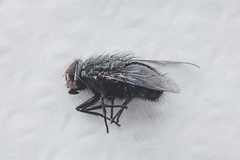 Dusty fly (Daniel Kulinski) Tags: 60mm daniel danielkulinski europe image kulinski nx60mm nx60mmf28 photograhy picture poland samsungnx animal closeup closer death die dust fly insect macro photography odranowola mazowieckie pl