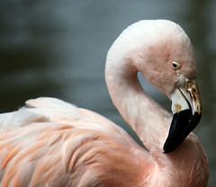 Roze flamingo (CharmFocus) Tags: ilca77m2 a77ii safaripark beekse bergen animal dieren sigma70200 sigmatc20 70200tc2 flamingo phoenicopteridae roseus phoenicopterus europese vogel ciconiiformes