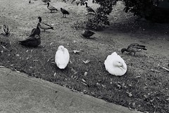 My White Duck Friends (goodfella2459) Tags: nikon f4 af nikkor 50mm f14d lens ilford super xp2 400 35mm c41 blackandwhite film analog white ducks animals birds bowral southern highlands new south wales bwfp milf