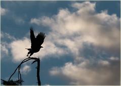 bald eagle ballet (marneejill) Tags: bald eagle liftoff stretch wingspan silhouette sky tree soar