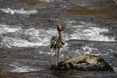 The wriggler! (Karen Warren1) Tags: heron salmon fish fishing eastlynriver river exmoornationalpark exmoor watersmeet valley walk1000miles walk1000miles2017 worldinneedwalkersimplesitecom