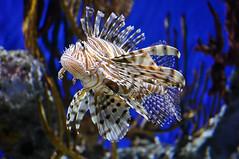 GA Aq apr 2017D (Swebbie (Daequix)) Tags: georgia aquarium atlanta lionfish blue vivid