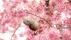 Spring Dinner (maco-nonch★R(on/off)) Tags: brownearedbulbul ヒヨドリ cherryblossoms 長徳寺 出町柳 おかめ桜 evening kyoto 京都 桜 pink chotokuji temple kioto tumblr