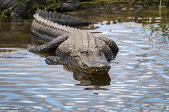 mid-sized gator: thanks for the Explore selection (wandering tattler) Tags: wildlife reptile alligator gattor crocodilian florida jaws dangerous predator 2017 explore