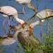 Breeding Yellow-billed storks (Mycteria ibis)