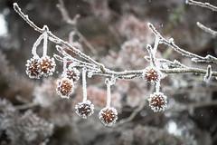 Born to be a poster (luigig75) Tags: frozen ghiaccio leafs nature cold winter ice snow galaverna givre brouillard givrant brina albero foglie congelati branches landscape natura france francia 70d canon canonef70200mmf4lusm