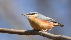 Nuthatch (Happy snappy nature) Tags: nuthatch smallbird beautiful colourful detail nature wildlife oakengateswoods telford shropshire canon80d sigma150600c sunnyday outdoors