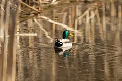7K8A6682 (rpealit) Tags: scenery wildlife nature east hatchery alumni field hackettstown drake mallard duck bird