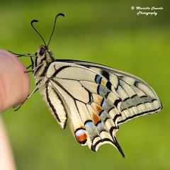Papilio machaon ♂ (Marcello Consolo) Tags:
