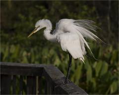 Great White Egret ( Fluff ) (billkominsky ) Tags: naturethroughthelens