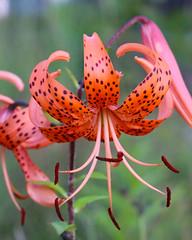 Northwoods Tiger Lily (anniegutierrez) Tags: flower flowers wildflower northwoods northernwisconsin nicolet vilas