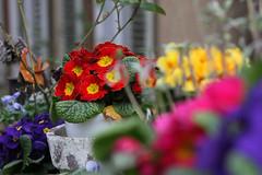 True colours (crowfoto) Tags: flower blume red rot blau blue gelb yellow tübingen tuebingen altstadt primel