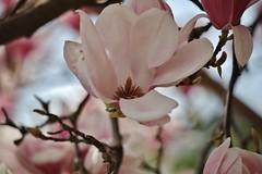 Magnolia (Hugo von Schreck) Tags: hugovonschreck magnolia flower blume blüte macro makro canoneos5dsr tamron28300mmf3563divcpzda010