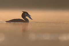 Great crested grebe (Mike Mckenzie8) Tags: podiceps cristatus british uk spring dawn sunrise stil calm serene bird wild wildlife fish hunting eating bokeh canon