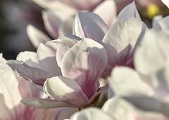 Danse autour du magnolia 11/22 (Emmanuel Cattier -) Tags: magnolia fleur plante tree fleursetplantes flower flowering arbre arbreenfleur france strasbourg alsace grandest floraison lumière printemps cattier emmanuelcattier manusoft