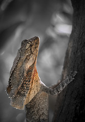 Hangin on to the Wet (--Welby--) Tags: frill frilled neck lizard blanket broome kimberley wet season seasonal fuji xt10 hexanon 50mm f17