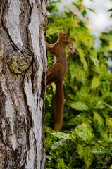 """""""Jusqu'au plus haut sommet"""" (AnthonyOuvrelle.Photography) Tags: grosplan écureuil faune arbre foret noisette animal rongeur parc nature"""
