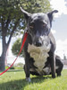 Oreo Squatting (Immature Animals) Tags: oreo bark baby animal rescue koalition arizona az petco wetmore mall dog black white cute peeing girl grass