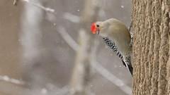 Red Bellied Woodpecker (Sandra_Gilchrist) Tags: sandragilchrist whitby whitbyon whitbyontario cloca centrallakeontarioconservationauthority conservationarea bird avian snow snowing woodpecker redbelliedwoodpecker