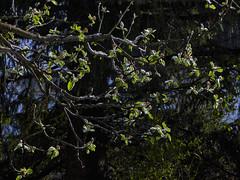 Blühender Apfelbaum mit Schnee (Helmut Reichelt) Tags: apfelbaum apfelblüten schnee garten aprilwetter april frühling geretsried bayern bavaria deutschland germany panasonic lumix fz200 captureone10 colorefexpro4