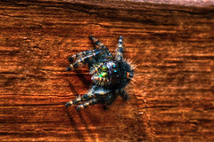 Bold Jumping Spider (Astral Will) Tags: spider arachnid jumpingspider boldjumpingspider chelicerae hdr hdrcheat hss sliderssunday fuzzy