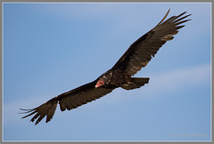 Turkey Vulture 6113 (maguire33@verizon.net) Tags: bif pradoregionalpark turkeyvulture vulture bird wildlife chino california unitedstates us