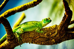 pretty Lizard (Litratistica Images NYC) Tags: lizard green animal pets reptile litratistica images nyc tree wood canoneos5dmk2 canonef70200mm