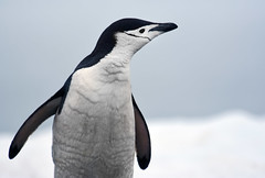 Chinstrap Profile (andrewrosspoetry) Tags: penguin snow ice