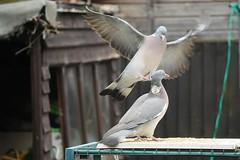 21 April 2017 (31) (AJ Yakstrangler) Tags: yakstrangler pigeon pigeons