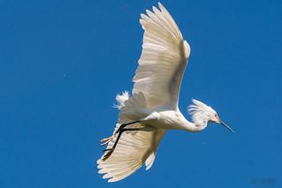 Snowy Egret, Flying In