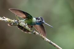 Magnificent Hummingbird (Melis J) Tags: bird costarica fierythroatedhummingbird hummingbirds eugenesfulgens