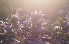 gathering the sun (Johnson Cameraface) Tags: 2017 april spring olympus omde1 em1 micro43 zd zuiko macro 50mm f2 johnsoncameraface flare flowers earlymorning sunrise wildflower nature