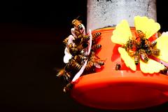 BIZZZ Invasion (luenreta) Tags: abejas insecto animal fauna 7dwf bee
