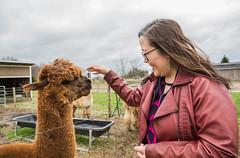 medina-7720 (FarFlungTravels) Tags: alpaca animal farm medinacounty onefineday shear wool