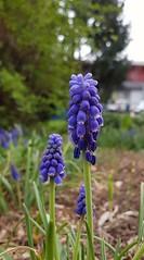 Am Boden lag ein hilfloser Mann - die Blume hat mich wohl gerufen zu helfen (eagle1effi) Tags: günther schwart quinta flower donnerstag blume spring spring1 weinberg hyazinthe