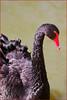 Black Swan (Finding Chris) Tags: bentley wildfowl motor museum bentleywildfowl eastsussex ringmer chrisbarbaraarps canon60d blackswan feathers red redbeak redeye curleyswan