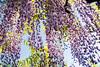 DSC_1554 (sayo-tsu) Tags: 藤 wisteria 牛島のフジ 春日部市 埼玉県 kasukabe saitama 特別天然記念物