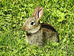 Easter Bunny (Diko G.W.) Tags: nafferton eastyorkshire animal rabbit nikonp900