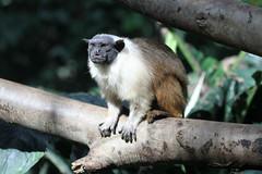 Tamarin bicolore (olivier.ghettem) Tags: zoodeparis zoodevincennes zoo tamarin tamarinbicolore parczoologiquedeparis paris mammifère primate primates animal omnivore bresil amériquedusud