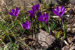 March Crocus 2017 II (boettcher.photography) Tags: märz march 2017 frühling spring krokus crocus blume flower nature natur blüte blossom sashahasha boettcherphotography