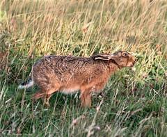 Sunlit early morning Brown Hare (Steve C Waddingham) Tags: stevenwaddinghamphotography animal wild nature wildlife countryside coast run fast canon