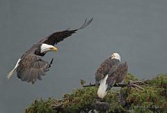 ND5_9524 Get Over Coming In (Wayne Duke 76) Tags: rain eaglepair landing raptors treetop wetfeathers