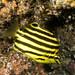 Stripey - Microcanthus strigatus
