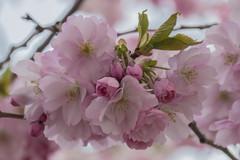 Cherry blossom in Kungsträdgården, Stockholm (PriscillaBurcher) Tags: prunusaccolade sakura cherryblossom kungsträdgården stockholm l1290282