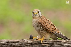 Peneireiro Vulgar, Common Kestrel (Falco tinnunculus) (xanirish) Tags: peneireirovulgar commonkestrelfalcotinnunculusemliberdadewildlifenunoxavierlopesmoreirangc animals animais aves de observação nature natureza selvagem pics wildlife wildnature wild photographer birds birding birdwatching em bird ao ar livre ornitologia ngc nuno xavier moreira nunoxaviermoreira liberdade national geographic uk prey rapinas xfp mount falcotinnunculus commonkestrel eurasiankestrel
