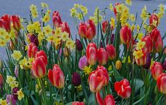 Flower installation in Helsingborg (frankmh) Tags: plant flower tulip daffodil installation helsingborg skåne sweden april 2017 outdoor