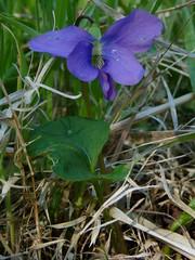 Common Blue Violet (Dendroica cerulea) Tags: commonblueviolet violasororia viola violaceae malpighiales plant violet flower spring highlandparkmeadows highlandpark middlesexcounty nj newjersey
