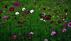 _DSC0009 Cosmos flower field (tsuping.liu) Tags: outdoor flowers feeling field plant photoborder perspective pattern petal photographt passion photoboder painting park photos nature natureselegantshots naturesfinest landscape lighting
