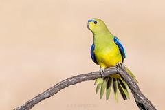Elegant Parrot (chrissteeles) Tags: elegantparrot elegant parrot pengilly roseworthy southaustralia sa birding